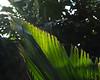 Arecaceae #03 03<br /> <br /> Licuala Palm, Palas Palm, or Vanuatu Palm, Licuala grandis<br /> Native to:  Vanuatu, South Pacific<br /> <br /> Conservatory of the Matthaei Botanical Gardens,<br /> Ann Arbor, Michigan,<br /> February, 2011.