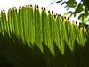 Arecaceae #03 06<br /> <br /> Licuala Palm, Palas Palm, or Vanuatu Palm, Licuala grandis<br /> Native to:  Vanuatu, South Pacific