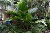 Arecaceae #03 02<br /> <br /> Licuala Palm, Palas Palm, or Vanuatu Palm, Licuala grandis<br /> Native to:  Vanuatu, South Pacific<br /> <br /> Conservatory of the Matthaei Botanical Gardens,<br /> Ann Arbor, Michigan,<br /> March, 2011.