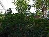 Acanthaceae:  Pachystachys lutea<br /> 2011M 07    <br /> <br /> Lollipop Plant or Golden Shrimp Plant, Pachystachys lutea.  <br /> Native to: ??<br /> <br /> Conservatory of the Matthaei Botanical Gardens,<br /> Ann Arbor, Michigan,<br /> February, 2011.
