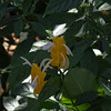 Acanthaceae:  Pachystachys lutea<br /> 2011M 02  <br /> <br /> Lollipop Plant or Golden Shrimp Plant, Pachystachys lutea.  <br /> Native to: ??<br /> <br /> Conservatory of the Matthaei Botanical Gardens,<br /> Ann Arbor, Michigan,<br /> February, 2011.