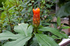 Costaceae:  Costus pulverulentus<br /> 2011M 09<br /> <br /> Spiral Flag or Spiral Ginger, Costus pulverulentus.<br /> Native to:  Asia<br /> <br /> Conservatory of the Matthaei Botanical Gardens,<br /> Ann Arbor, Michigan,<br /> March, 2011.