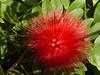 Bloom of powderpuff tree (2011)