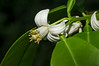 For images of the grapefruit tree see the Rutaceae family