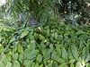 Lady Slipper Vine foliage
