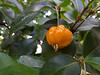 Myrtaceae:  Eugenia uniflora<br /> 2011M 03<br /> <br /> Surinam Cherry, Eugenia uniflora (Family Myrtaceae)<br /> <br /> Conservatory of the Matthaei Botanical Gardens,<br /> Ann Arbor, Michigan,<br /> February, 2011.