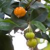Myrtaceae:  Eugenia uniflora<br /> 2011M 02<br /> <br /> Surinam Cherry, Eugenia uniflora (Family Myrtaceae)<br /> <br /> Conservatory of the Matthaei Botanical Gardens,<br /> Ann Arbor, Michigan,<br /> February, 2011.