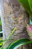 Bark detail, Twinberry or Myrcianthes fragrans