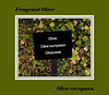 Plant ID label for Fragrant Olive
