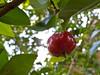 Myrtaceae:  Eugenia uniflora<br /> 2011M 04<br /> <br /> Surinam Cherry, Eugenia uniflora (Family Myrtaceae)<br /> <br /> Conservatory of the Matthaei Botanical Gardens,<br /> Ann Arbor, Michigan,<br /> February, 2011.