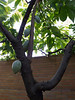 Malvaceae:  Theobroma cacao<br /> 2011M 03  <br /> <br /> Chocolate tree, Theobroma cacao.  <br /> Family:  Malvaceae (Sterculiaceae alternatively ).  In 2016, the label on this plant gives Malvaceae as the family, which is consistent with Wikipedia's current attribution.<br /> Native to: deep tropical regions of the Americas.<br /> <br /> Conservatory of the Matthaei Botanical Gardens,<br /> Ann Arbor, Michigan,<br /> February, 2011