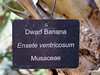 Plant ID label for dwarf banana tree