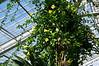 Solanaceae:  Solandra grandiflora<br /> 2012M 11<br /> <br /> Chalice Vine, Solandra grandiflora<br /> Family Solanaceae<br /> <br /> November 01, 2012<br /> Matthaei Botanical Gardens, Tropical House of the Conservatory.