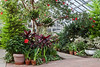 A general view of the Temperate House.  Potted amaryllis bulbs, some in bloom and some in bud, complemented the permanent plantings.<br /> <br /> Hidden Lake Gardens Conservatory, Lenawee County<br /> February 20, 2012