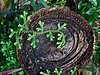 A detail that caught my eye.  Some low fern-like tendrils have spread across the stump of some long ago cut tree.  <br /> <br /> In observing the changes from month to month in the conservatory over the past year, I've come to realize that serious pruning has to take place in order not to have the space completely filled by some of the larger specimens.  For there to be large stumps like this shouldn't be surprising.<br /> <br /> February 17, 2012<br /> Matthaei Botanical Gardens Conservatory<br /> (Canon 50D)
