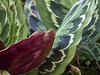 Marantaceae:  Calathea 'Royale'<br /> 2011M 01<br /> <br /> Prayer Plant, Calathea 'Royale'<br /> Distribution  Brazil<br /> An internet search turned up a number of variations on this name.  'Royale' is almost certainly a cultivar designation, not a species name.  I couldn't pin down the correct species name for this specimen.<br /> <br /> Matthaei Botanical Gardens, Tropical House<br /> February 18, 2011<br /> <br /> <br /> <br /> Conservatory of the Matthaei Botanical Gardens,<br /> Ann Arbor, Michigan,<br /> February, 2011.