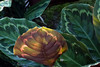 Marantaceae:  Calathea 'Royale'<br /> 2011M 04<br /> <br /> Prayer Plant, Calathea 'Royale'<br /> Distribution  Brazil<br /> An internet search turned up a number of variations on this name.  'Royale' is almost certainly a cultivar designation, not a species name.  I couldn't pin down the correct species name for this specimen.<br /> <br /> Matthaei Botanical Gardens, Tropical House<br /> February 18, 2011