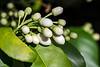Buds, grapefruit tree