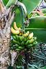 Fruit, dwarf bananas
