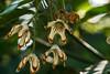 Kola nut tree