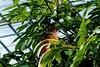 Water Chestnut tree in bloom