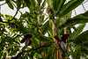 Banana tree blooms