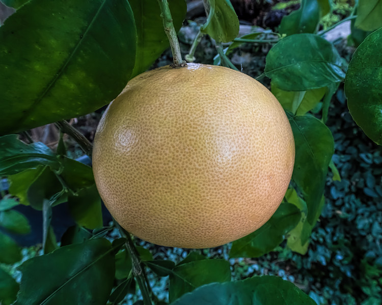 'Full moon' ripening