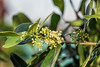 D001-2017 unidentified tree blooms<br /> <br /> Conservatory, Matthaei Botanical Gardens<br /> January 1, 2017