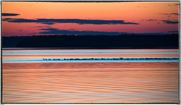 Canada Geese on Ottawa River at Sunset