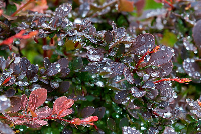 A Rose Glow Barberry bush after a morning rain.