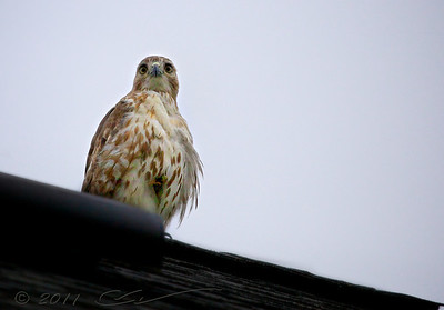 "This is ""our"" hawk. He lives nearby and sometimes chills on the roof of our house."