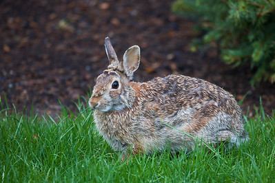 A wet bunny snacking on the grass in the backyard.