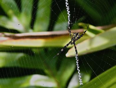 A spider; Maui, HI