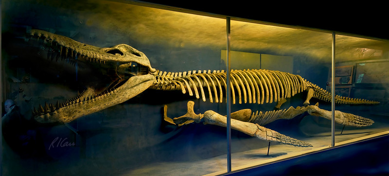 Kronosaurus queenslandicus, cretaceous period, Queensland, Australia. Kronosaurus was a pliosaur (short-necked plesiosaur) and largest of group. This skeleton, 42 ft long is most complete known, discovered in massive blocks of Cretaceous age limestone (135 million years old) in Queensland, Australia. Portions of skull, backbone, paddles had weathered away, but enough remained that missing pieces could be restored. Harvard Museum of Natural History, Cambridge, Massachusetts, June, 2007.