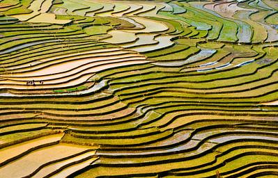 Rice Paddies- Vietnam