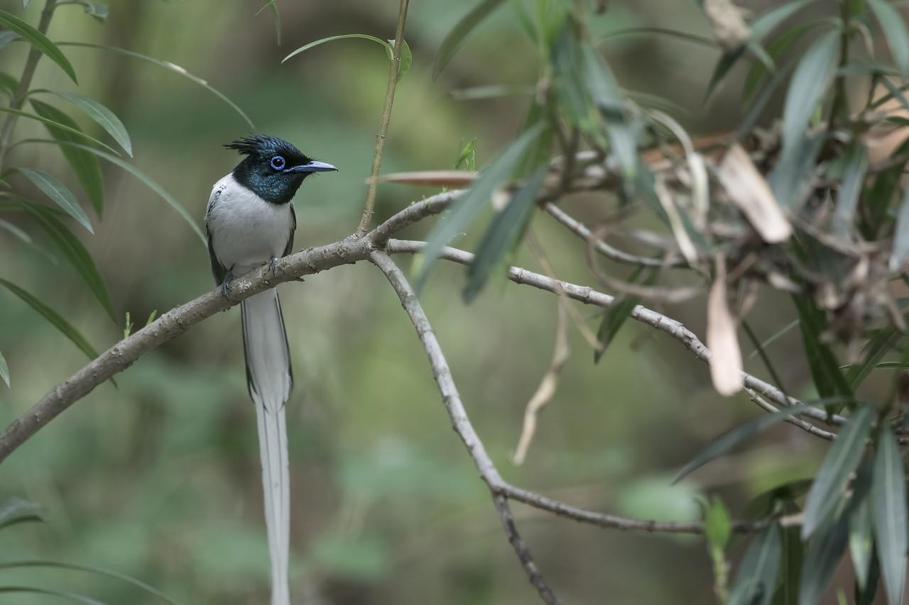 asian paradise-flycatcher