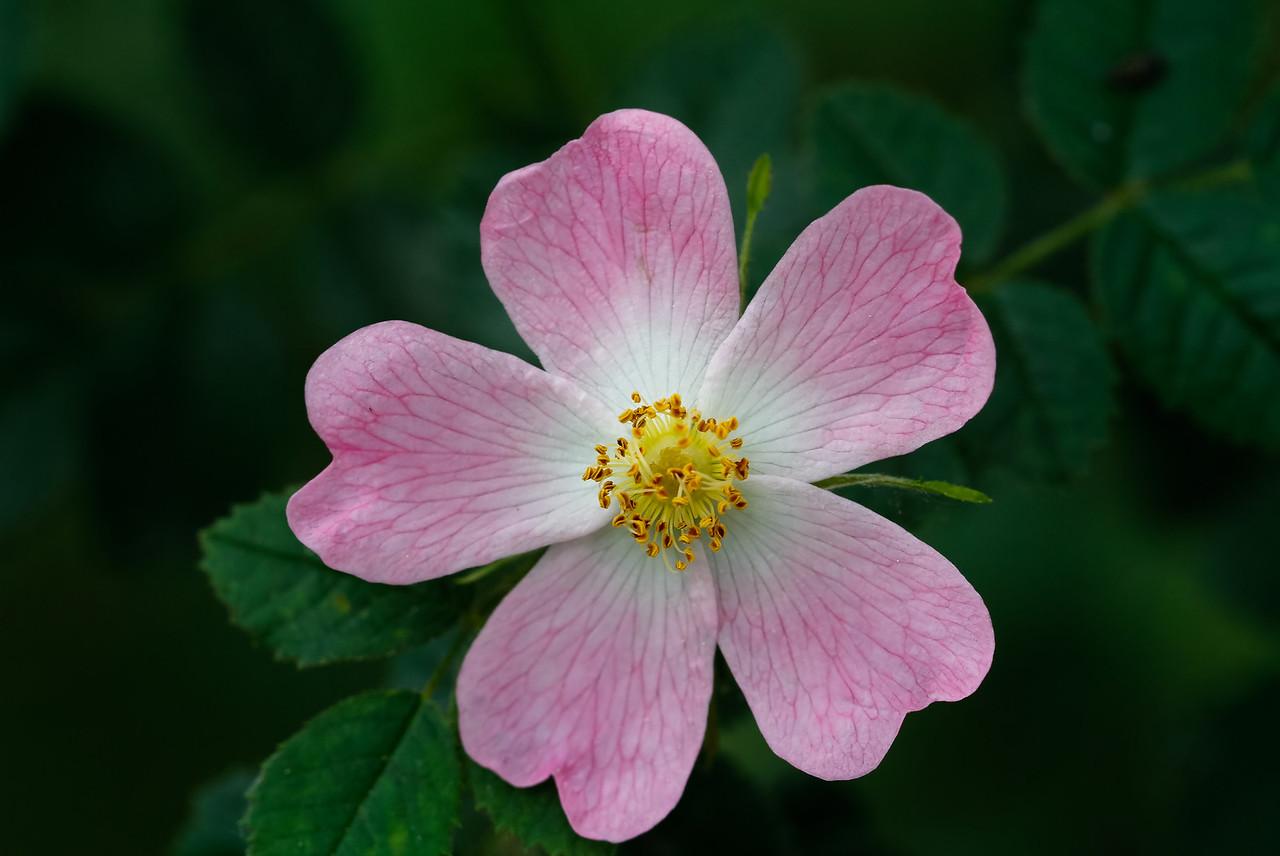 rosa canina
