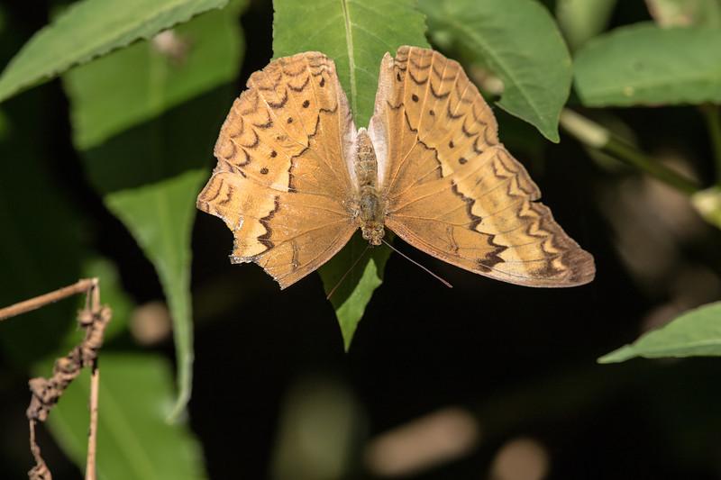 large yeoman, female