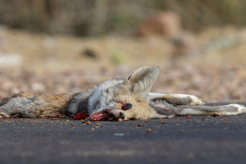 a roadkill - desert fox, 1 km from the forest guest house, on the way to village charwas