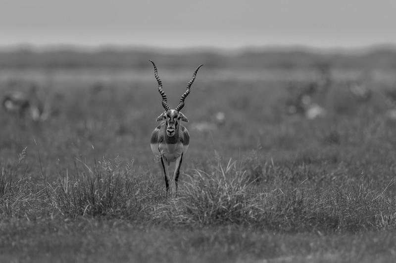 indian antelope