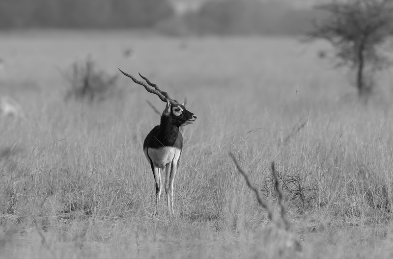 blackbuck inside the sanctuary