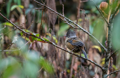 streak-throated barwing at an altitude of 2300 m