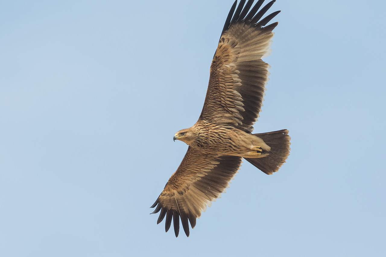 juvenile imperial eagle, jorbeed