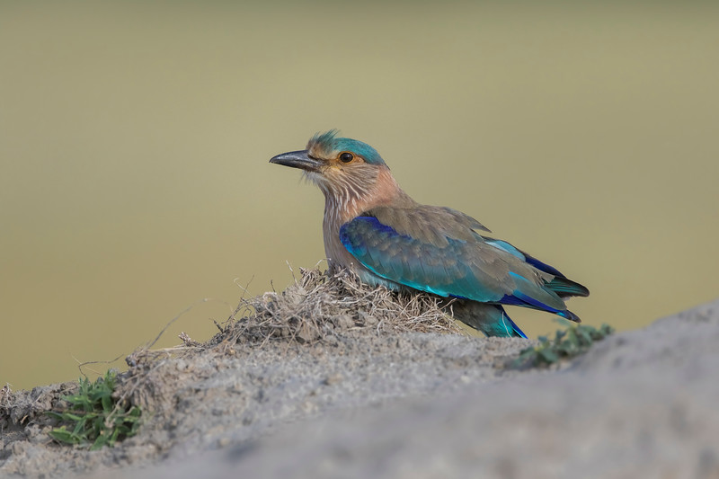 Indian roller inside the sanctuary