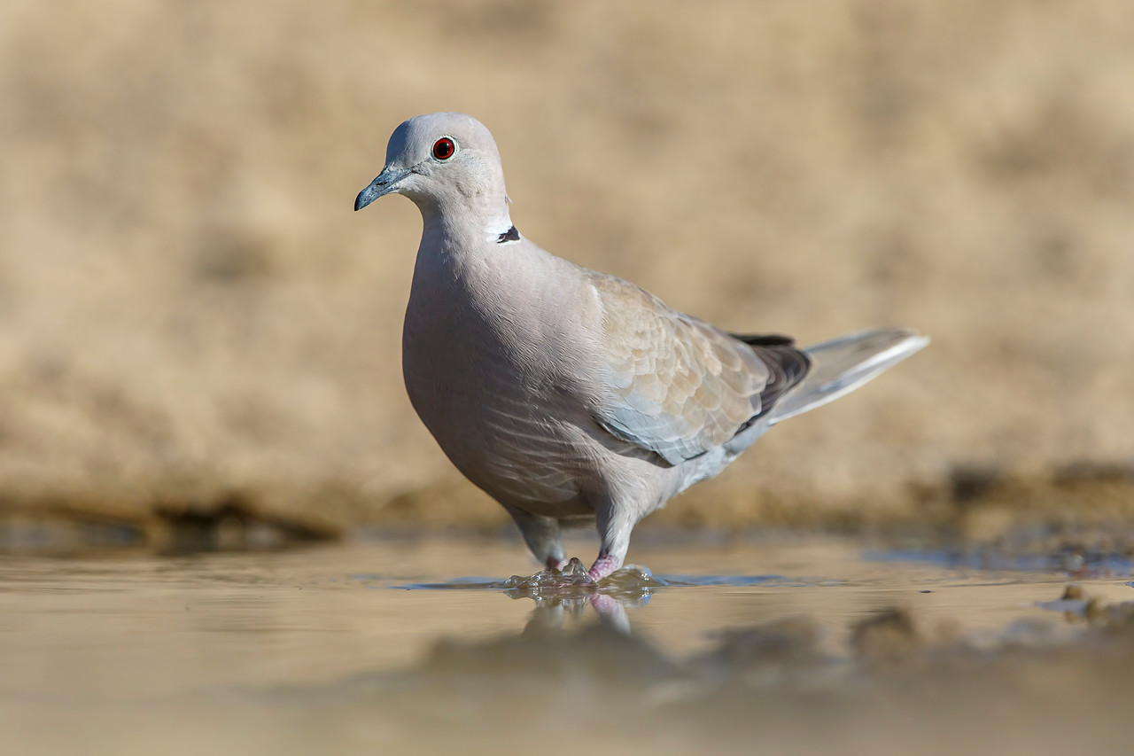 eurasian-collared dove cooling off during the mid-day heat