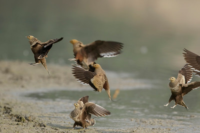 a flock of chestnut-bellied sandgrouse, landing at the pond edge