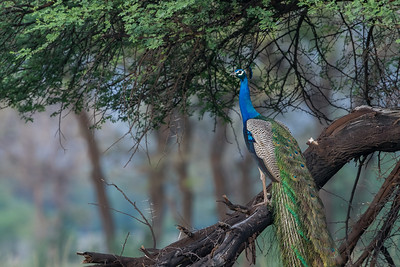 Indian peafowl, sanctuary, Tal Chapar
