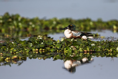 northern shoveler on a water hyacinth bed
