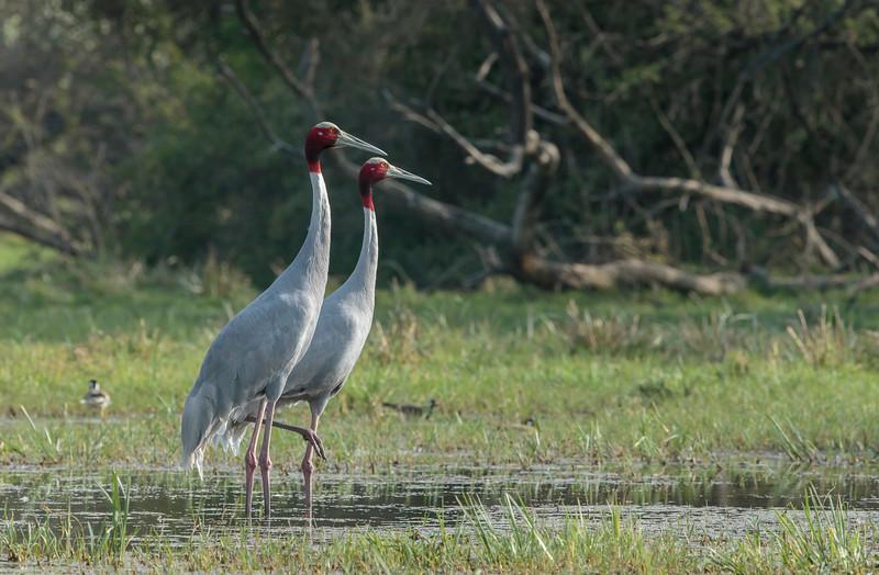 a breeding pair of sarus crane (vulnerable), bharatpur
