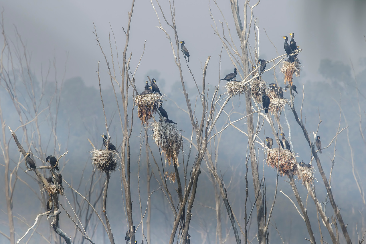nesting colony of great cormorants at bhindawas wildlife sanctuary